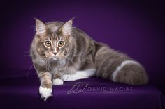 Gorgeous Maine Coon owned by Mary Turcotte at the High Sierra Cat Club show in Roseville, CA.