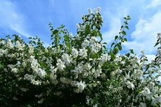 Jasmines blossoms - and smells