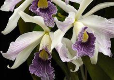 10917441_635532679908551_2134449076629372188_n.jpg (792×560)  Orchidée Laelia purpurata coerulea ... ( Photo de : Orchid Corner )