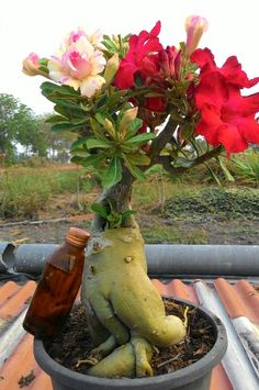 174 Best Desert Rose Plant Images Bonsai Trees Desert Flowers