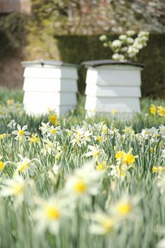 Bee hives and Narcissi in the Orchard at Sissinghurst