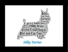Traits of the Silky Terrier In the late 1800s Yorkshire Terriers came to Australia, where they were bred with the native Blue and Tan Australian Terriers in an effort to improve the latter's coat colo