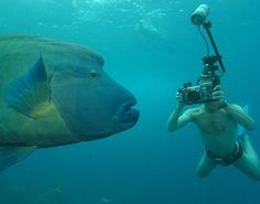 10 Amazing Underwater Diver/Animal Pictures ~ World Gossips Underwater Photographer, Underwater Photos, Underwater Life, Giant Fish, Big Fish, Parrot Fish, Giant Animals, Underwater Animals, Deep Sea Fishing