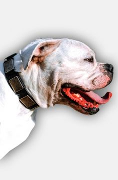 Choose quality and style with this Leather Dog Collar with Massive Silvery Plates for American Bulldog.