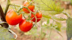 Wetenschappers produceren natuurlijk medicijn in tomaten.