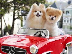 boo et buddy deux chiens mignons peluches vivantes 24 Boo et Buddy web star spitz pomeranien photo peluche nain loulou de Pomeranie imag...