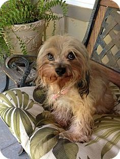 #CALIFORNIA ~ Gigi is a 2y/o #adoptable Yorkie Yorkshire Terrier in #SantaClarita. She had a horrible start in life, someone adopted her at the shelter when she was 8mo old & 8lbs. Then they dumped her back at the shelter at 4lbs. She was a skeleton- starved & dehydrated. She was going to be euthanized as no one wanted an eye sore of a dog- it took time for her to get healthy. She's delicate, adorable, playful & obedient & ready for a loving fur-ever home. Rescues on the Runway 661-305-5700
