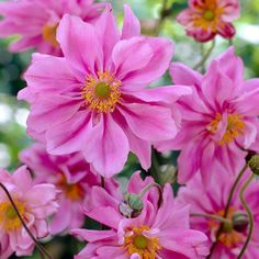 Anemone japonica Lady Gilmour, otherwise known as Montrose, is a fast spreading herbaceous perennial that flowers in summer and through into autumn. The delicate flowers are a pale pink colour and contrast well with the pretty ruffled green foliage. Suppl