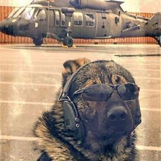 German Shepherd Dog Dog Breed Information Army Dogs, Police Dogs, Military Working Dogs, Military Dogs, Tier Fotos, German Shepherd Dogs, German Shepherds, Shepherd Puppies, Service Dogs