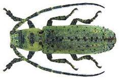 Afbeeldingsresultaat voor (Cerambycidae)
