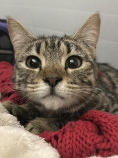 Hi reddit! Happy Holidays! Im 5 months old Bengal ragdoll mix! I was adopted into a loving family of 4 today! What should my name be? Help my mama decide! by 420phia cats kitten catsonweb cute adorable funny sleepy animals nature kitty cutie ca #ragdollcatmix #adoptionhelp