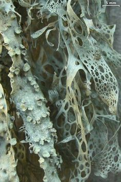 Ramalina menziesii, texture in nature, pattern, organic marks Patterns In Nature, Textures Patterns, Nature Pattern, Art Grunge, Slime Mould, Plant Fungus, Mushroom Fungi, Nature Plants, Natural Forms