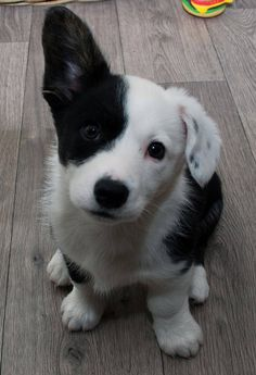 """""""I woke up this morning and one of my ears was standing up,"""" says this little Corgi"""