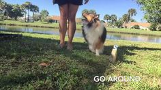 Sheltie Tricks & Behaviors