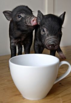 piglets are so cute