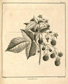 img/dessins-gravures arbres fruitiers et fruits/framboisier - framboise.jpg
