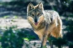 A state wildlife commission opposes the reintroduction of the predators, complicating a federal effort to save the endangered Mexican gray wolf.