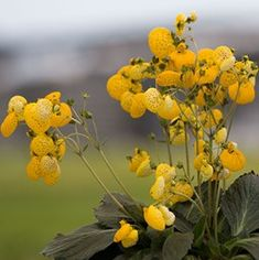 Calceolaria 'Calynopsis Yellow'