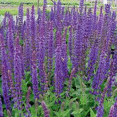 S is for Salvia, a lovely perennial.  It blends well into a mixed border, and I have been trying different cultivars in my Zone 7, edge-of-the-Piedmont, Central Virginia garden.