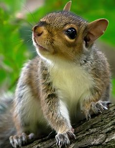 Grey Squirrel - Cute