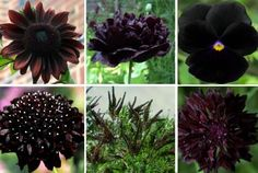 Almost Black Flower Seed Kit - Seed Gift in a Box