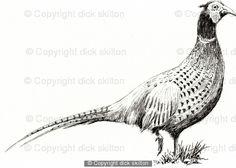 Pheasant drawing as a greeting card Pack of 6 your message underneath