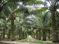 pohon kelapa sawit