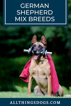 One feature of this breed is their proud stature and posture of their head, almost like a warrior king. So you may find it useful to look at warriors like Alexander or Caesar while thinking of Belgian Malinois names. Read on to find more such traits. Belgian Malinois Training, Belgian Malinois Puppies, Best Dog Names, Puppy Names, Malinois Shepherd, Belgian Dog, Belgium Malinois, Cat Shaming, German Shepherd Mix