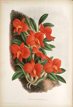 Jean Jules Linden Lindenia. Iconographie des Orchidées , 1885-1906; Sophronitis Grandiflora Lindl.,  Image number:SIL7-289-19