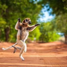 Madagascar's  lumar primates resemble a cross between a cat dog and squirrel. These animals certainly enjoy a dance.   : @take_me_to_africa . . . . Checkoutafrica.com   #Checkoutafrica #Africa #African #Africanpeople #Africanlifestyle #Africanculture #Africanhistory #Africanplaces #TravelAfrica #SeeAfrica #EverythingAfrican #darkchocolate  #chocolate #queen #beautiful #black #blackhistorymonth #blackpower #blackbeauty #blackgirlmagic #blackisbeautiful  #wisdom #experience