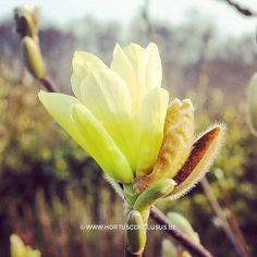 Magnolia 'Butterflies' #gardening #tuinieren #jardinage #gartenarbeit #magnolia #flowers #bloemen #fleurs #blumen #tree #boom #arbre #baum #hortusconclusus #treenursery #boomkwekerij #pépinière #baumschule #uitbergen #berlare #zele #wichelen #schellebelle #lokeren #schoonaarde #dendermonde #laarne #beervelde #kalken #wetteren