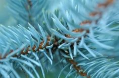 How to Propagate Evergreen Trees and Shrubs | eHow                                                                                                                                                                                 More