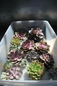 Echeverias are some of the most attractive of all succulents and they are highly valued by plant enthusiasts for their gorgeous colors and beautiful rosette shapes.