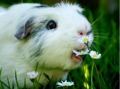 nom nom nom god, mouth, pets, daisies, lunch, baby animals, flowers, snack, guinea pigs