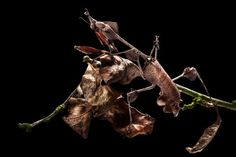 Wow nature is amazing. A violin mantis female showing excellent camouflage amongst dead leaves photographed in Alex's studio in Derbyshire Picture: ALEX HYDE/BARCROFT