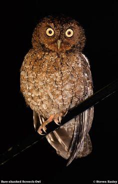 Bare Shanked Screech Owl