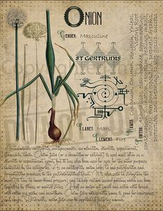 Onion Magic plant knowledge has a long history and has a place in the modern witches Book of Shadows. Book of Shadows page. Wiccan Spell Book, Wiccan Spells, Magick, Pagan, Magic Herbs, Herbal Magic, Witchcraft Books, Witchcraft History, Grimoire Book