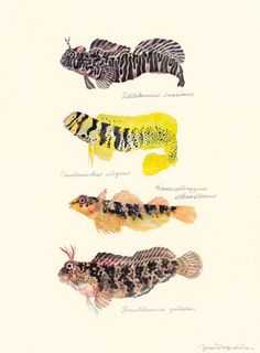"""Blennies in tide-pools / """"Gimpo"""" (潮だまりのギンポたち Blennies in tide-pools : uonofu 魚の譜から)"""