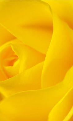 Yellow Rose My Favorite color!!!!!