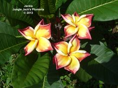 Jackie: One of our signature plumeria, distinguished by its wavy, almost crinkled foliage. Chameleon-like flowers change daily in appearance, depending on the weather. A strong yet compact grower.