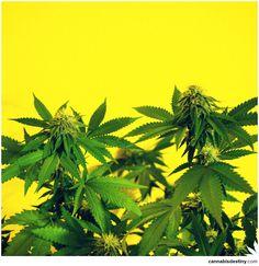 Plant Life  #marijuana #cannabis #weed #maryjane