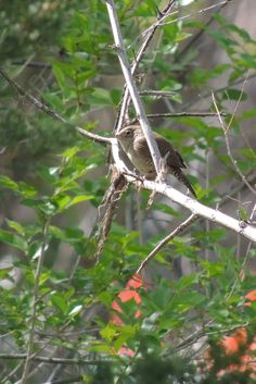 House Wren ©Steve Frye. Wild Bird Center of Boulder, CO Saturday Morning Bird Walk in Boulder County – May 10, 2014.