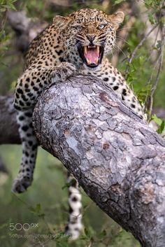 Careful my Cub by Rudi_Hulshof #animals #animal #pet #pets #animales #animallovers #photooftheday #amazing #picoftheday