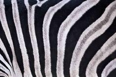 closeup view of zebra stripes