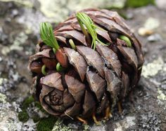 DIY Pine Cone Bonsai - How To Make A Pine Cone Bonsai - - DIY pine cone bonsai. How to create a pine cone bonsai tree. Bonsai Garden, Garden Trees, Garden Plants, Indoor Plants, House Plants, Air Plants, Cactus Plants, Plantas Bonsai, Bonsai For Beginners