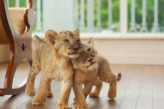 lion, kitty cats, friends, dreams, pet, tiger cubs, kittens, baby animals, animal planet