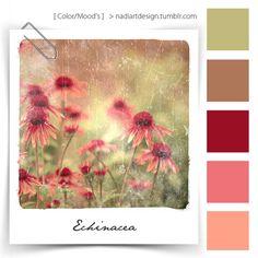 Echinacea > #0011