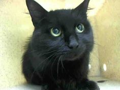 TO BE DESTROYED 8/26/14 ** BEAUTIFUL YOUNG KITTY! Poor Shadow is afraid in the shelter.. Please foster, adopt or pledge to help save her life now! ** Brooklyn Center  My name is SHADOW. My Animal ID # is A1010877.  I am a female black domestic mh. The shelter thinks I am about 2 YEARS   I came in the shelter as a STRAY on 08/17/2014 from NY 11361