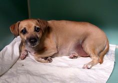 SAFE 12/17/13!!  Manhattan Center   BRANDY - A0987000  NEUTERED MALE, TAN / BROWN, CHIHUAHUA SH MIX, 9 yrs OWNER SUR - ONHOLDHERE, HOLD FOR ID Reason CHILDCONFL  Intake condition GERIATRIC Intake Date 12/09/2013, From NY 10456, DueOut Date 12/09/2013 https://www.facebook.com/photo.php?fbid=723712364308312&set=a.617942388218644.1073741870.152876678058553&type=3&theater