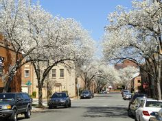 The blossoming trees on my street are beautiful today!